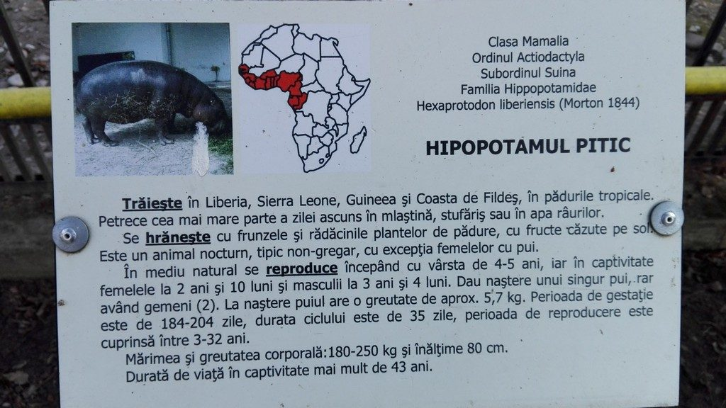 hipopotanul pitic, Targoviste