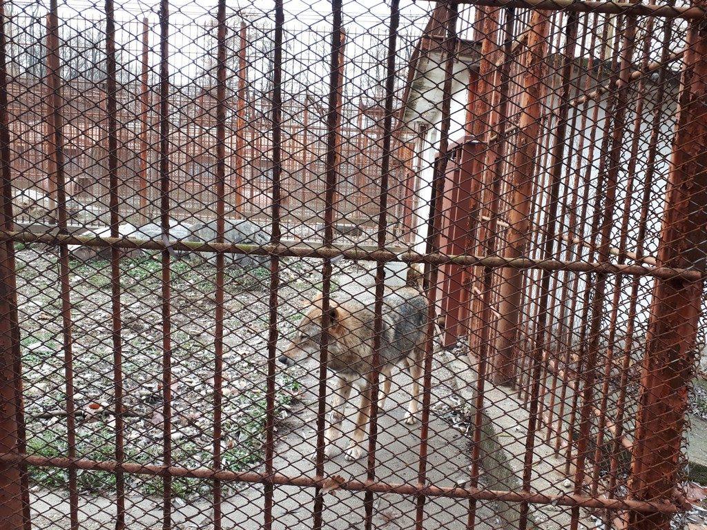lup, Gradina Zoologica, obiective turistice Pitesti, Arges, Romania, Padurea Trivale