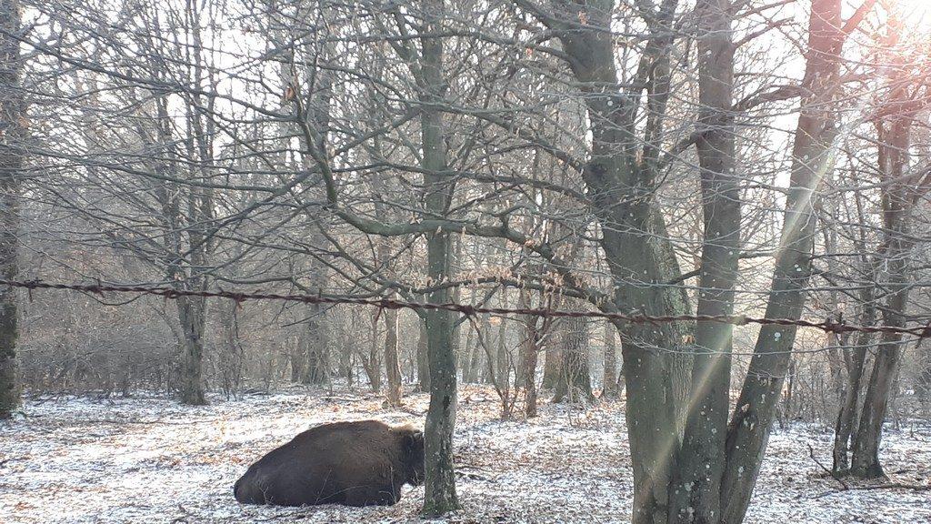 Zimbraria Neagra, rezervatie bizoni, Bucsani, Dambovita, obiective Romania