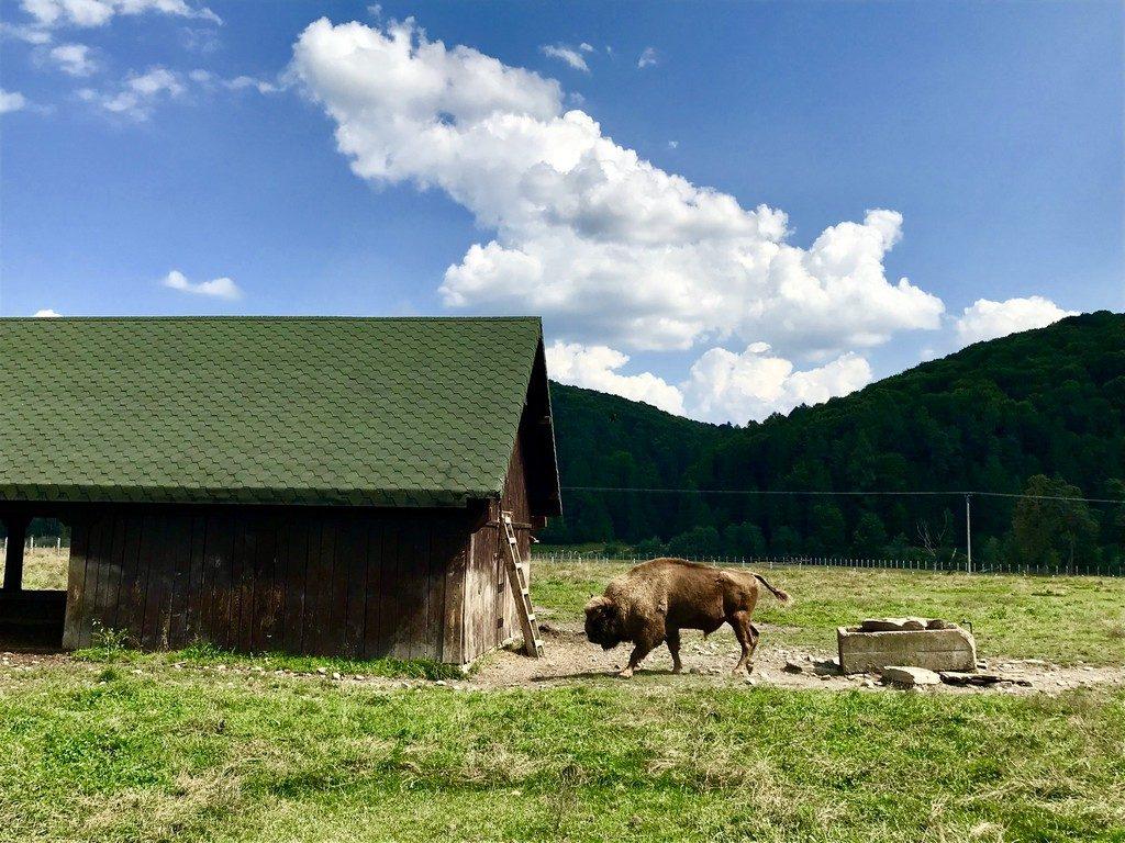 Rezervatia de zimbri, Vama Buzaului, obiective turistice Romania, Covasna